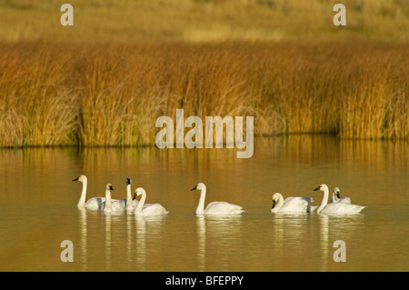 A group of Trumpeter swans (Cygnus buccinator) enjoy a fantastic fall day in a pond south of Kamloops, British Columbia, - Stock Photo