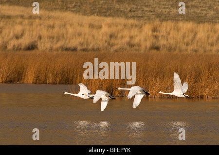 A group of Trumpeter swans (Cygnus buccinator) take flight south to escape winter, near Kamloops, British Columbia, - Stock Photo