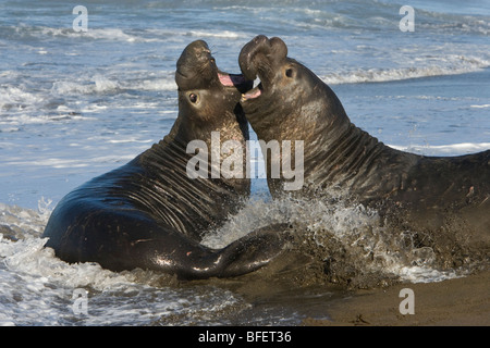 Northern elephant seals (Mirounga angustirostris), bulls fighting, Piedras Blancas, California, USA - Stock Photo
