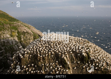 Northern gannet (Morus bassanus) nesting colony on very windy day Bird Rock Cape St. Mary's Ecological Reserve Newfoundland - Stock Photo