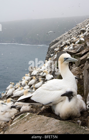 Northern gannet (Morus bassanus), adult and chick at nesting colony, Cape St. Mary's Ecological Reserve, Newfoundland, - Stock Photo