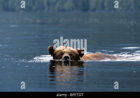 Adult male Grizzly bear (Ursus arctos horribilis) swimming across a saltwater inlet Khutzeymateen Grizzly Bear Sanctuary - Stock Photo