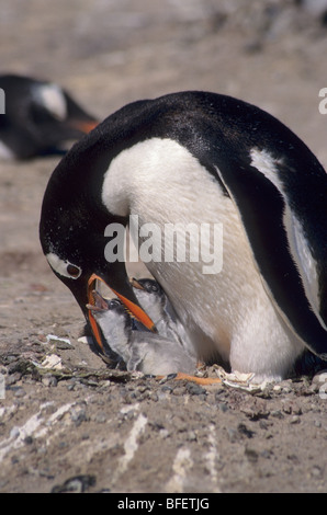 Gentoo penguin (Pygoscelis papua) adult regurgitating food for chicks, Saunders Island, Falkland Islands - Stock Photo
