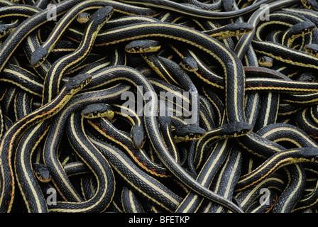 Red-sided garter snakes (Thamnophis sirtalis parietalis) at hibernaculum, Inwood, Manitoba, Canada - Stock Photo