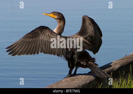 Young Double-crested cormorant (Phalacrocorax auritus) drying wings, Gimli, Manitoba, Canada - Stock Photo