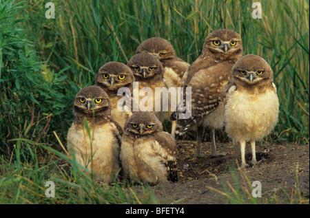 Burrowing owl (Athene cunicularia) chicks at nest burrow near Grasslands National Park, Saskatchewan, Canada - Stock Photo