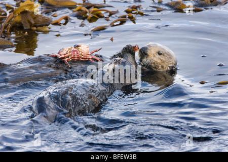 California sea otter (Enhydra lutris nereis), female and pup eating Red rock crab, Monterey Bay, California, USA Stock Photo