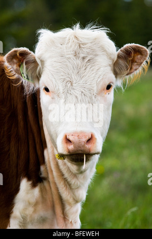 Cow with dandelion in its mouth, Cypress Hills Interprovincial Park, Alberta, Canada - Stock Photo