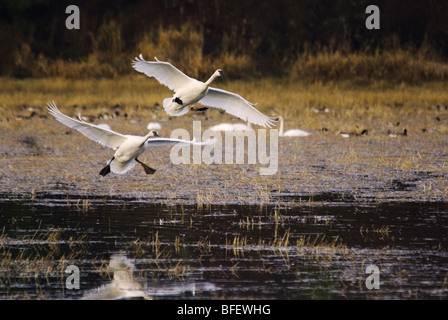A pair of Trumpeter swans (Cygnus buccinator) taking flight over a pond, Vancouver Island, British Columbia, Canada