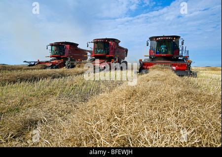 Three combine harvesters work in a canola field near Dugald, Manitoba, Canada - Stock Photo