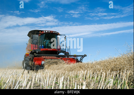 A combine harvester works in a canola field near Dugald, Manitoba, Canada - Stock Photo