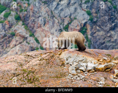Young female Grizzly bear (Ursus arctos horribilis) on top of a rock formation called a Roche Moutonnee created - Stock Photo