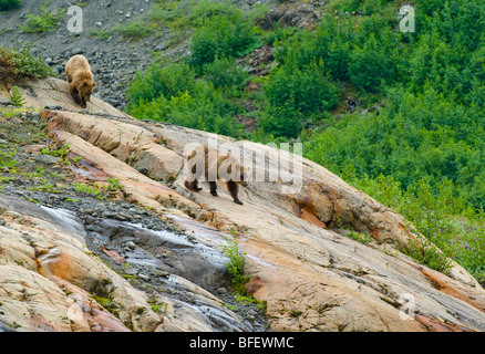 Mother and young female Grizzly bears (Ursus arctos horribilis) descending a rock formation called a Roche Moutonnee - Stock Photo