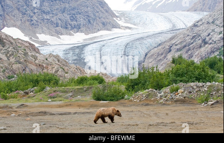 Young female Grizzly Bear (Ursus arctos horribilis) walking on river flats Berendon Glacier Coastal Mountains British - Stock Photo