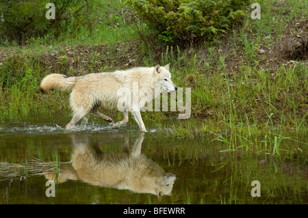 Gray wolf (Canis lupus) trots along edge of pond in summer, Montana, USA - Stock Photo