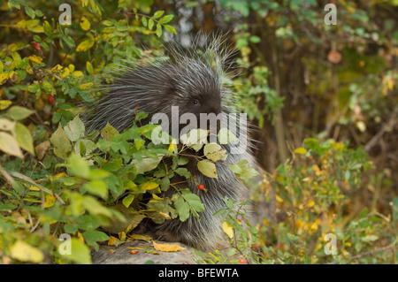 Porcupine (Erethizon dorsatum) nibbles on wild Rose hips in autumn, Montana, USA - Stock Photo