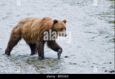 Grizzly Bear (Ursus arctos horribilis) Adult watching for salmon in spawning stream. In costal areas grizzliy frequents - Stock Photo