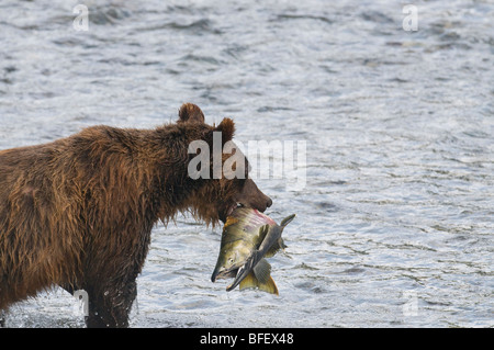 Grizzly Bear (Ursus arctos horribilis) Adult with Chum (Oncorhynchus keta) Salmon male. During Salmon Spawn in Costal - Stock Photo