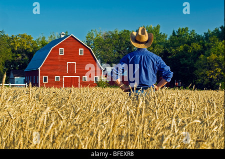 a man looksout over a harvest ready spring wheat field with a red barn in the background , Grande Pointe,  Manitoba, - Stock Photo