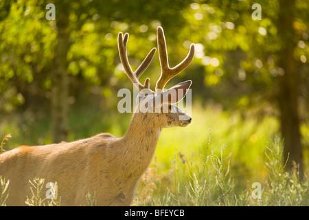 white-tailed Deer near Kimberly, British Columbia, Canada, Mammal - Stock Photo
