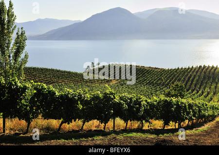 Lake Breeze Vineyards in Naramata, BC., overlooking Okanagan Lake. - Stock Photo