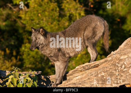Timber or gray wolf standing on a fallen log. - Stock Photo