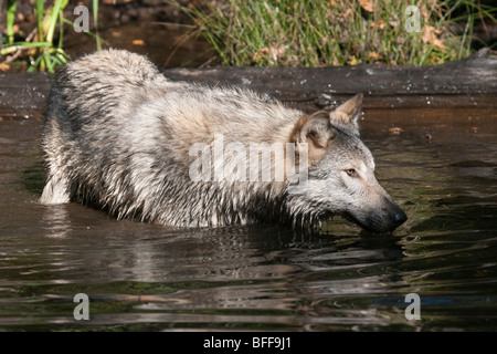 Timber or gray wolf standing in a small pond up to its nose in water. - Stock Photo