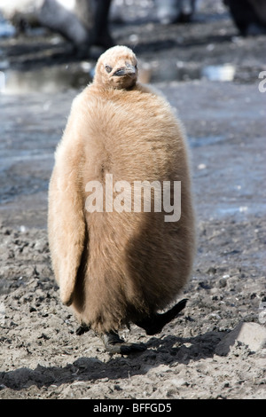 Very fat King Penguin chick, Salisbury Plain, South Georgia - Stock Photo