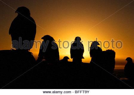 Striated caracaras at sunset, Phalcoboenus australis, Falkland Islands - Stock Photo
