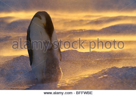 Emperor penguin with chick in blizzard, Aptenodytes forsteri, Weddell Sea, Antarctica - Stock Photo