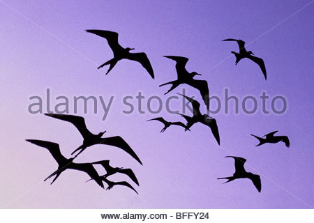 Magnificent frigate birds in flight, Fregata magnificens, Belize - Stock Photo