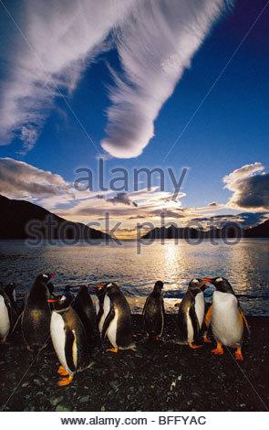 Gentoo penguins at midnight, Pygoscelis papua, South Georgia Island - Stock Photo