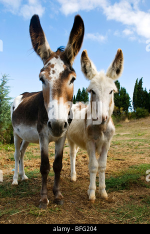 two curious donkeys - Stock Photo