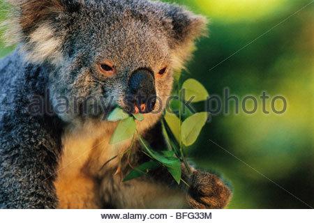 Koala eating, Phascolarctos cinereus, Australia - Stock Photo