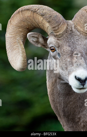 Bighorn ram (Ovis canadensis), Logan Pass, Glacier National Park, Montana. - Stock Photo
