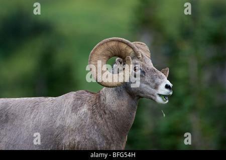 Bighorn ram (Ovis canadensis), eating grass, Logan Pass, Glacier National Park, Montana. - Stock Photo