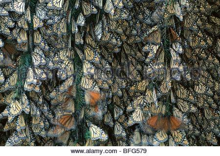 Monarch butterfly colony, Danaus plexippus, Michoacan, Mexico - Stock Photo
