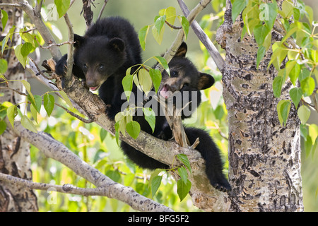 Black bear cubs (Ursus americanus) in tree (Populus sp.) Jasper National Park Alberta Canada. female bear sent her - Stock Photo