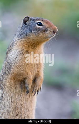 Columbian ground squirrel (Spermophilus columbianus), Glacier National Park, Montana, USA. - Stock Photo