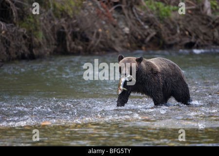 Grizzly bear (Ursus arctos horribilis) female with freshly caught pink salmon (Oncorhynchus gorbuscha) coastal British - Stock Photo