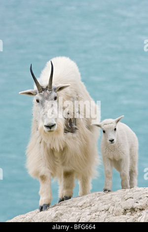 Mountain goat (Oreamnos americanus) nanny and kid overlooking Athabasca River Jasper National Park Alberta Canada.The - Stock Photo