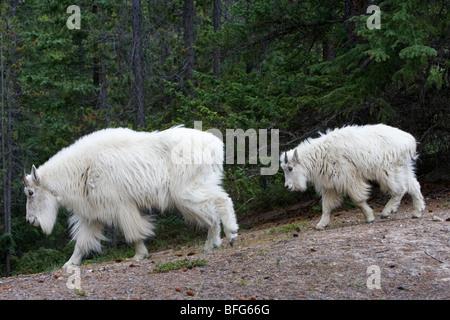 Mountain goat (Oreamnos americanus), nanny anad yearling, Jasper National Park, Alberta, Canada. - Stock Photo