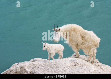 Mountain goat (Oreamnos americanus), nanny and kid, overlooking the Athabasca River, Jasper National Park, Alberta, - Stock Photo