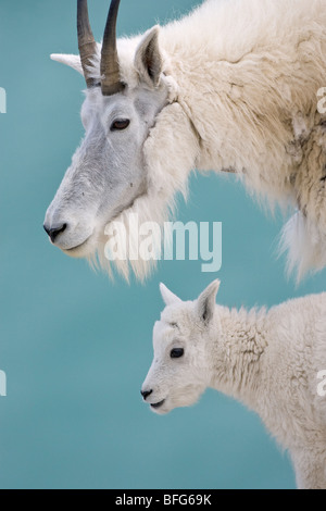 Mountain goat (Oreamnos americanus), nanny and kid, Jasper National Park, Alberta, Canada. - Stock Photo
