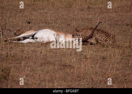 cheetah Acinonyx jubatus killing adult Grant's gazelle in Masai Mara Kenya - Stock Photo