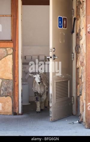 Mountain goat (Oreamnos americanus), yearling in outhouse, Mount Evans Summit Area, Colorado, USA. - Stock Photo