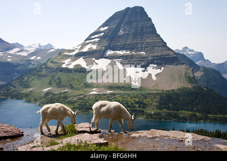 Mountain goat (Oreamnos americanus) nanny and yearling overlooking Hidden Lake and Bearhat Mountain Glacier National - Stock Photo