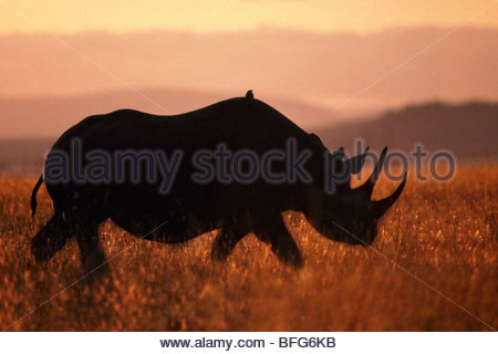 Black rhinoceros, Diceros bicornis, Masai Mara Reserve, Kenya - Stock Photo