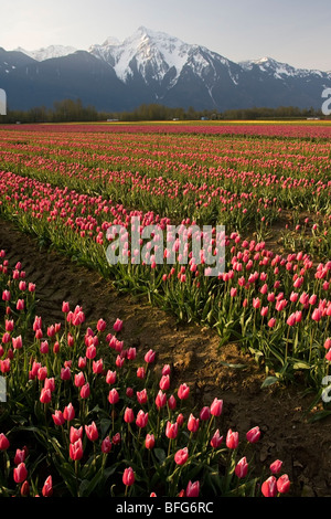 Tulips (Tulipa gesneriana), near Agassiz, British Columbia. - Stock Photo