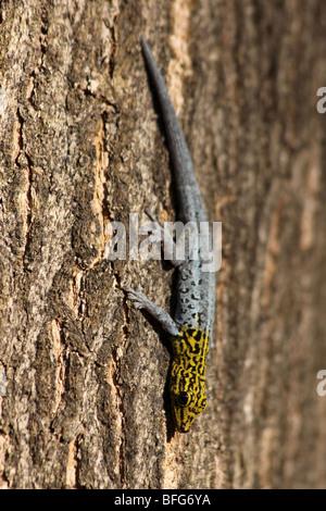 Yellow-headed Dwarf Gecko Lygodactylus luteopicturatus Taken At Jambiani, Zanzibar, Africa - Stock Photo